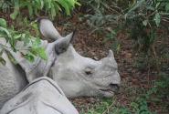 Носорожки